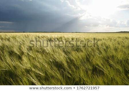 Mezőgazdaság megművelt mező sötét felhők tavasz Stock fotó © simazoran