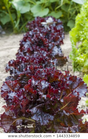 Salat Merlot Gemüse Ernährung Anlage vegan Stock foto © romvo