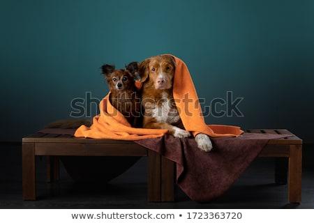 Studio shot of two adorable Havanese dog Stock photo © vauvau