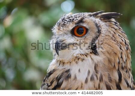 Rocha coruja retrato natureza pena animal Foto stock © craig