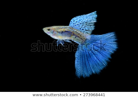 Swimming blue guppy, tropical fish pet Stock photo © Ansonstock