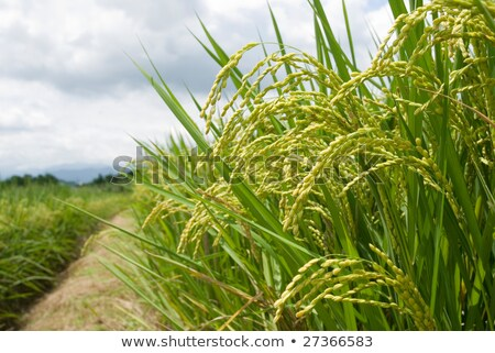 Mature Rice, Rice field with footpath Stock photo © Ansonstock
