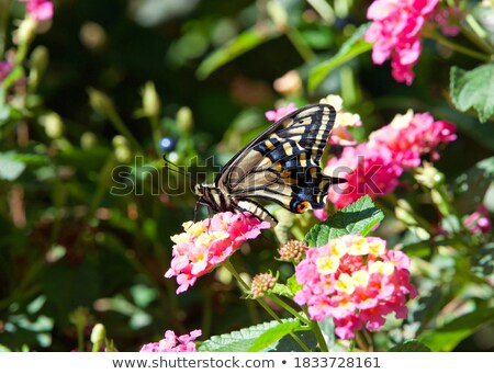 Spring yellow lantana flower and big swallowtail butterfly  Stock photo © Ansonstock