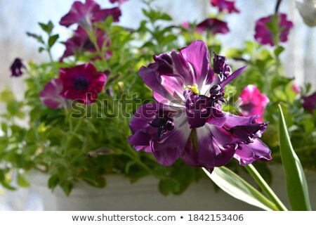 Stockfoto: Pretty Purple And Violet Petunias On A Balcony Garden