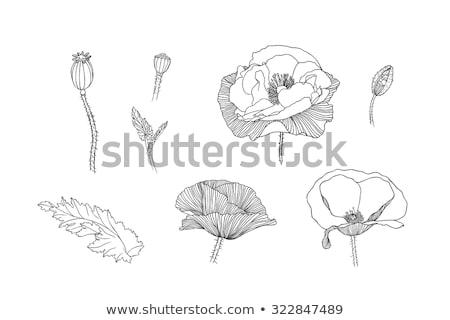 Kiem poppy geïsoleerd witte bloem blad Stockfoto © brozova