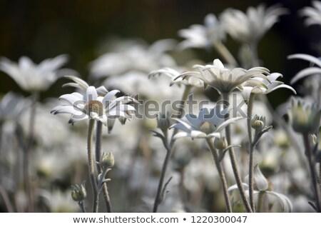 australian flannel flower Stock photo © Arrxxx