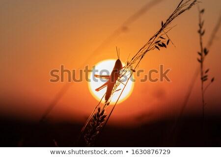 小さな · グラスホッパー · クローズアップ · 自然 · 葉 · 緑 - ストックフォト © azamshah72