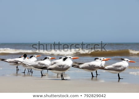 Royal Tern Stock photo © suerob
