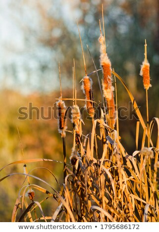 Fluff Cotton Cattail reed Stock photo © Aliftin