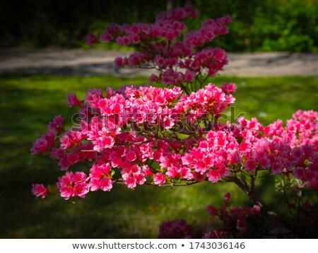 Roze azalea bloemen voorjaar plant Stockfoto © AlessandroZocc