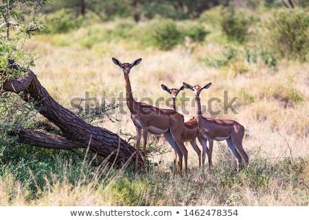 газель парка Кения природы животного африканских Сток-фото © ajlber