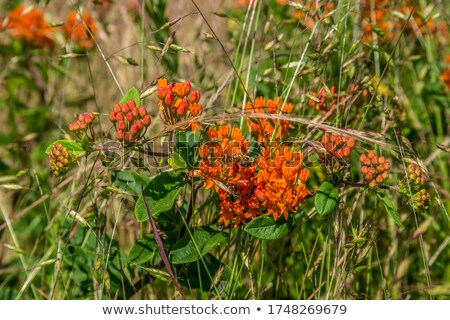 Bee working a Butterfly weed Stock photo © bobkeenan
