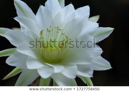 páscoa · lírio · planta · florescer · azul · primavera - foto stock © vaeenma