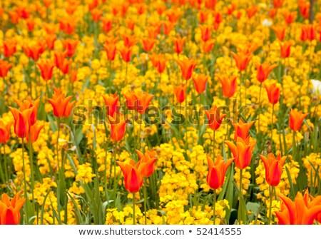 Tulipes parterre de fleurs printemps belle fleur nature Photo stock © Snapshot