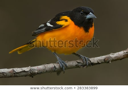Adulto masculina naranja aves negro rama Foto stock © raptorcaptor