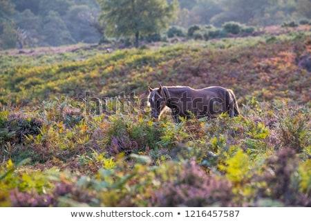 新しい · 森林 · ポニー · 白 · 種馬 · 公園 - ストックフォト © capturelight