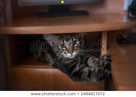 Stok fotoğraf: Kahverengi · çizgili · kedi · yavrusu · ay · eski · fotoğraf · oturma