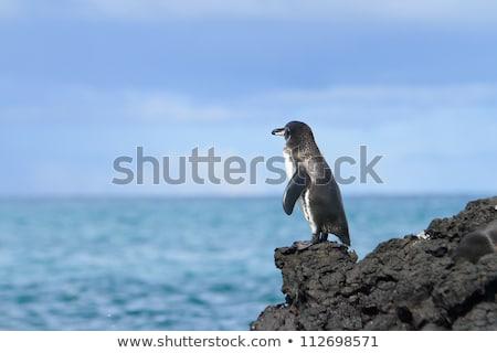 Penguin family  in the wild,  Galapagos Islands Stock photo © pxhidalgo