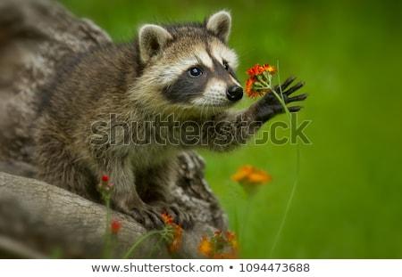 Raccoon, Procyon lotor Stock photo © Arrxxx