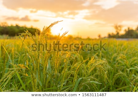 hasat · pirinç · alan · anız · ağaç · çim - stok fotoğraf © varts