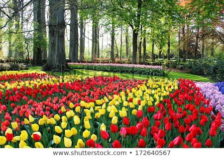 Holland tulpen voorjaar terras Pasen Stockfoto © tannjuska