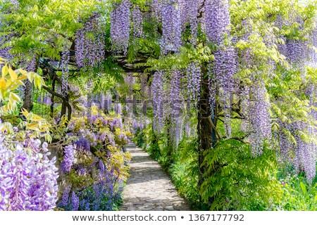 Японский цветок весны завода пути Purple Сток-фото © Dserra1