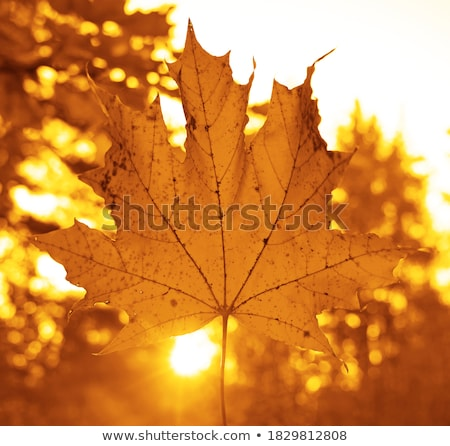 Yellow Maple Leaves against Blue Sky background with Sun - Autum Stock photo © Taiga