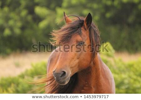 Islandic Ponies Stock photo © alexeys