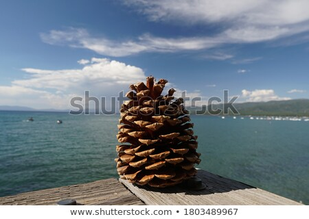 Beautiful Pine Cone on Tree Near Lake Shore Stock photo © feverpitch