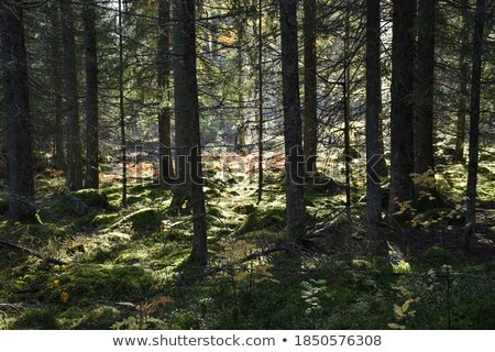 Mossy and untouched forest wilderness Stock photo © olandsfokus