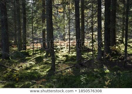 нетронутый лес Швеция дерево Сток-фото © olandsfokus