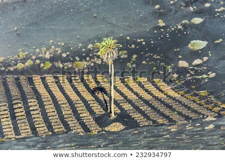 palm tree in volcanic wineyard area La Geria in Lanzarote  Stock photo © meinzahn