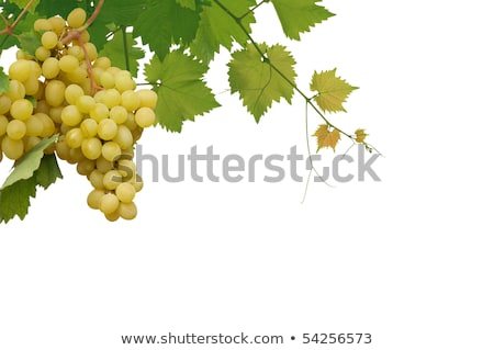 Vine with green grapes lit by sun Stock photo © cherezoff