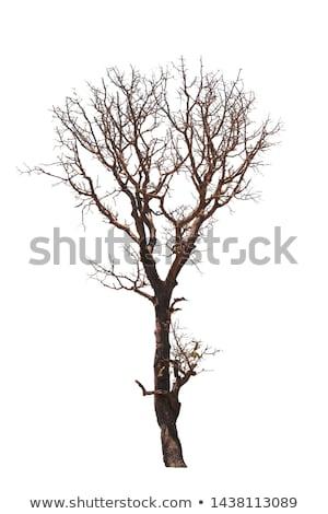 Eski ağaç yalıtılmış doğa alan Stok fotoğraf © tilo