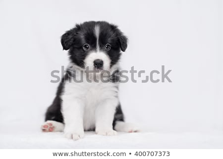 ハウンド · ボーダーコリー · 子犬 · 白 · 友達 · スタジオ - ストックフォト © ivonnewierink