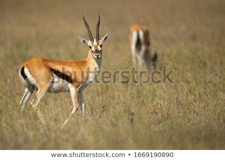 молодые газель стоять короткий зеленая трава глядя Сток-фото © JFJacobsz