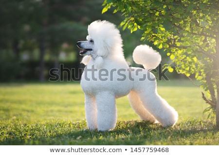 Kaniş tatlı yorkshire köpek tablo kare Stok fotoğraf © Koufax73
