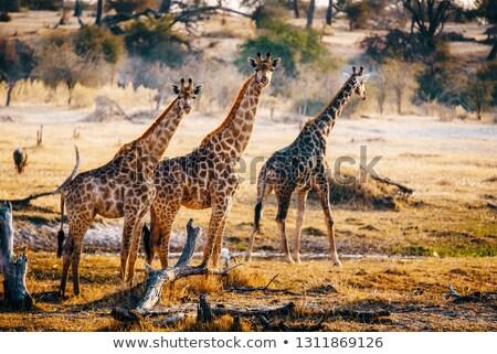 żyrafa Botswana wieczór dekoracje dwa Zdjęcia stock © prill