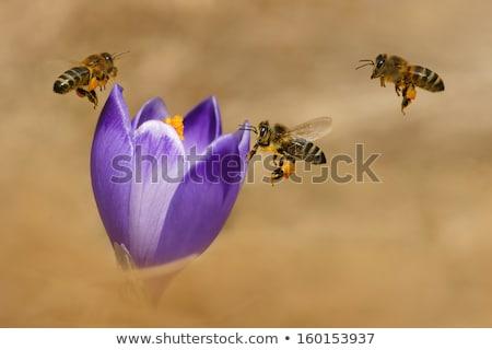 Foto stock: Abelha · voador · roxo · açafrão · flor · abelha