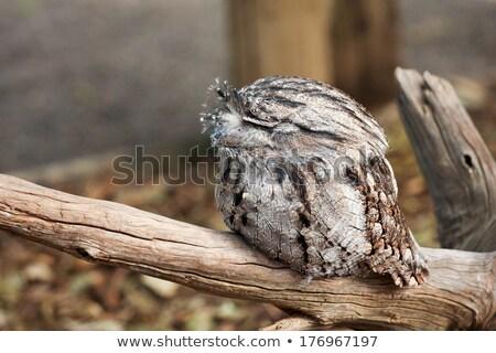 Tawny Frogmouths (Podargus strigoides) Stock photo © dirkr