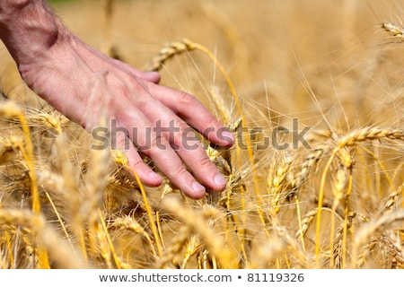 Stock fotó: Férfi · kéz · búzamező · gazda · megvizsgál · búza