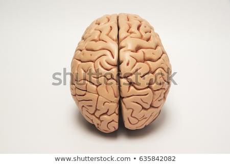 model · witte · medische · onderwijs · wetenschap - stockfoto © andreypopov