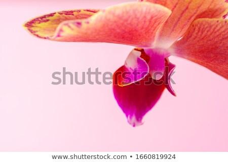 Macro foto rosa orchidea fiori pattern Foto d'archivio © artjazz