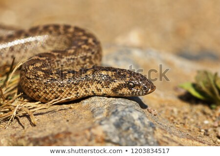 juvenilis · homok · makró · portré · szín · ázsiai - stock fotó © taviphoto