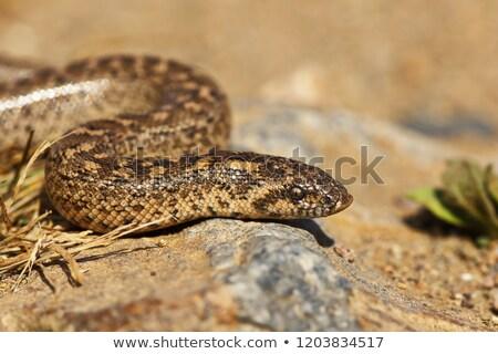 javelin sand boa close-up, juvenile Stock photo © taviphoto
