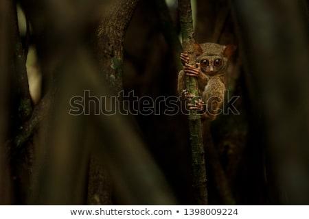 Tarsier on the Tree at Night Stock photo © colematt