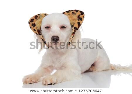 adorable white bichon wearing animal print headband lying Stock photo © feedough