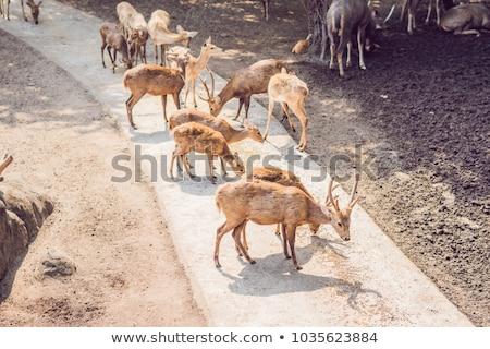 deer eat in a zoo safari in the summer noon stock photo © galitskaya