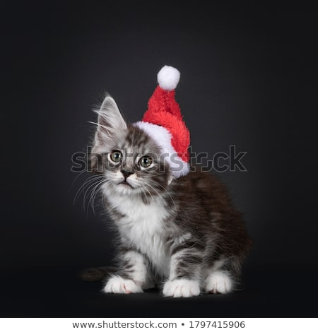 Red tabby high white Maine Coon cat / kitten isolated on black background. Stock photo © CatchyImages