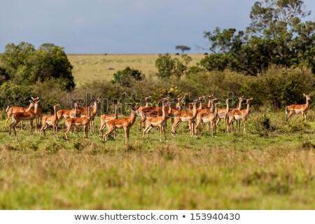 lado · perfil · feminino · rebanho · parque · África · do · Sul - foto stock © simoneeman